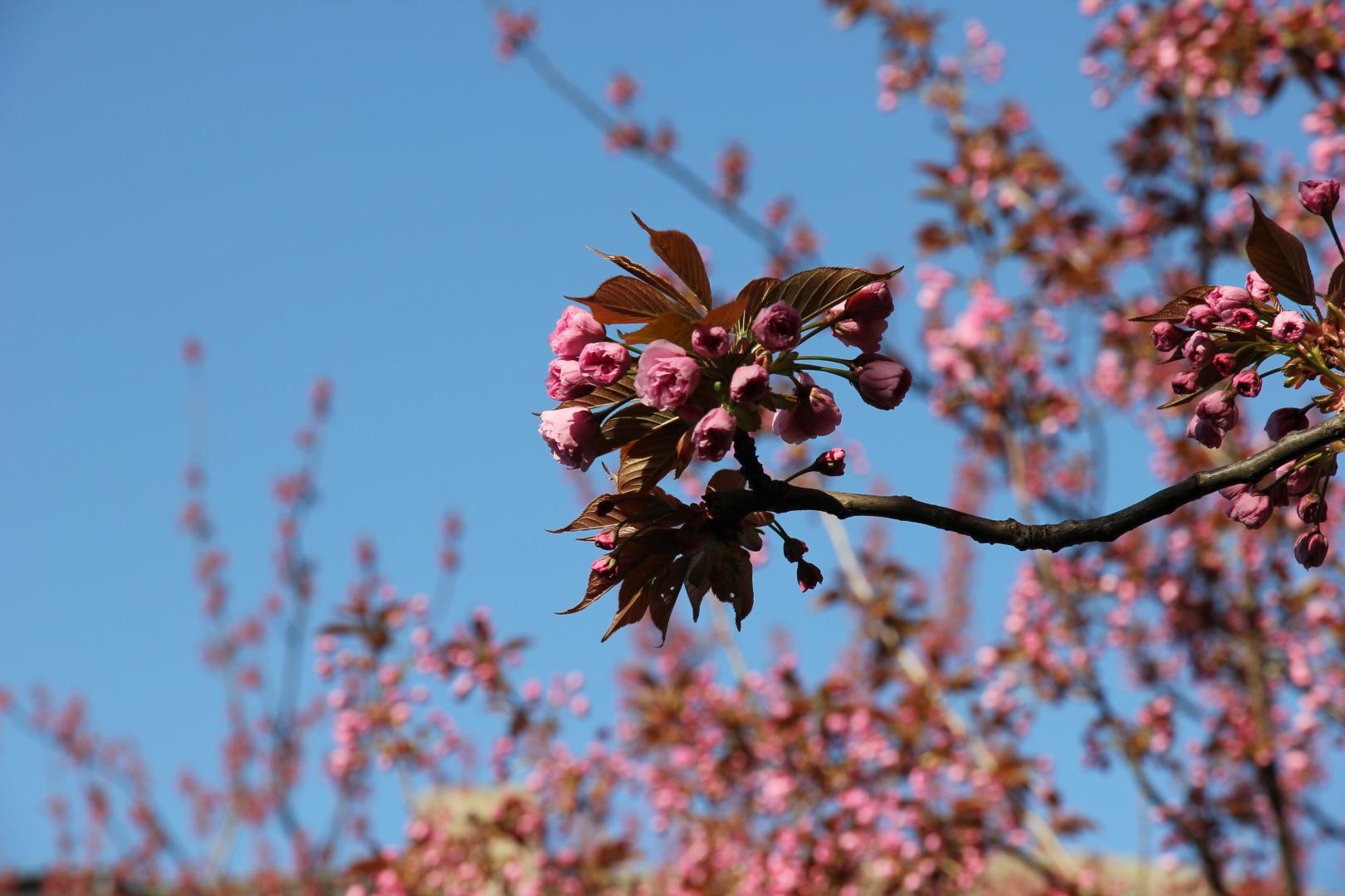 Kirschblüte_5