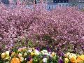 Kirschblüte_2-RB