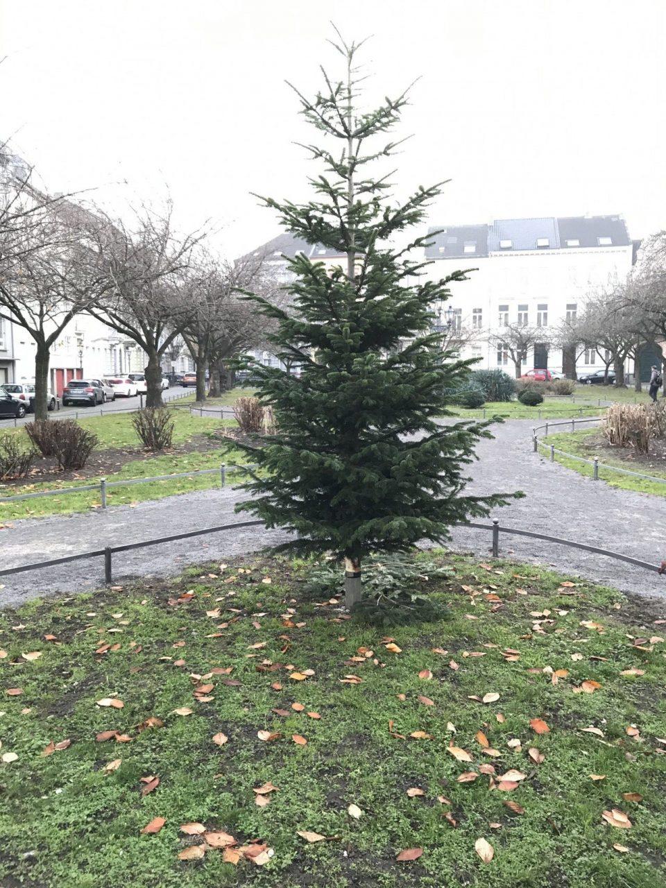 Weihnachtsbaum am Alexanderplatz - vor dem Schmücken